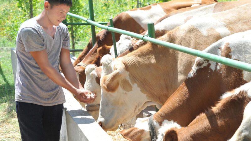Кыргызстанда 8-июлдан баштап малды сыртка экспорттоого уруксат берилет